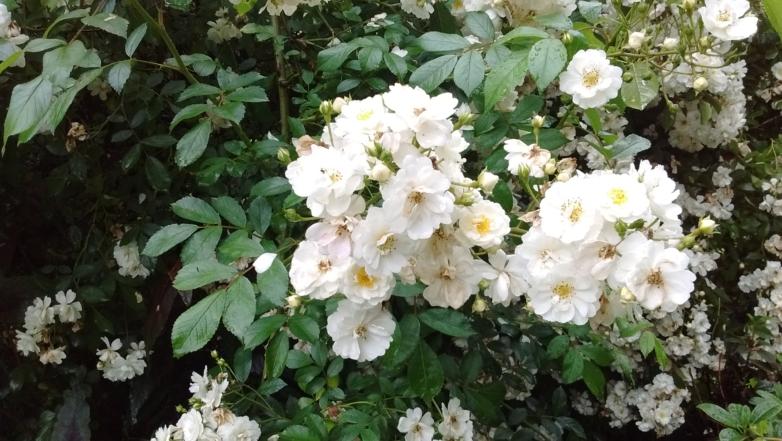 Rosa ' Guirlande d'Amour'