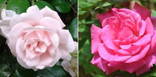 Rosa New Dawn, Rosa Zephirine Drounhin