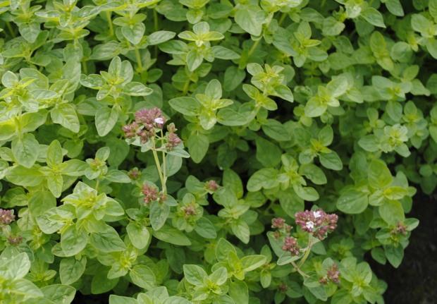 Origanum vulgare 'Compactum'