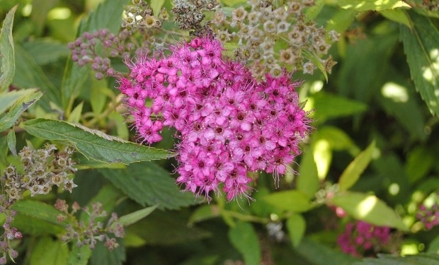Spiraea japonica 'Anthony Watere'