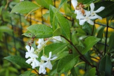 Trschelospermum jasminoides