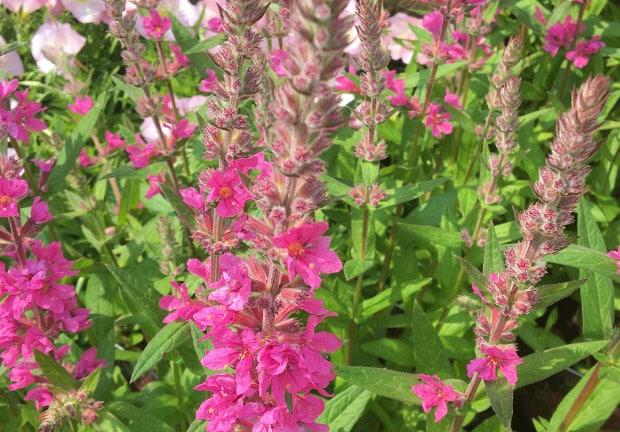 Lythrum salicaria 'Pink Blush'