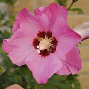 Hybiscus syriacus 'Woodbridge'